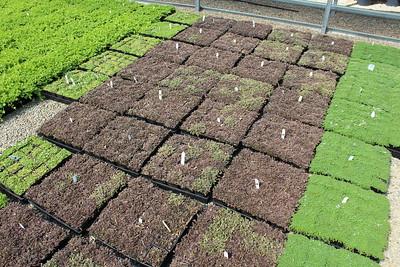 Leptinella squalida 'Platt's Black' 3 5 in 25 per flat (2)