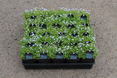 Laurentia fl  'Blue Star Creeper' (Pratia) - 25 per flat 3 5 in