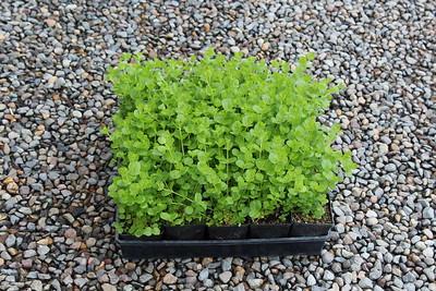 Lysmachia nummularia 3 5 in 25 per flat