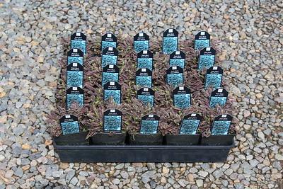 Leptinella squalida 'Platt's Black' 3 5 in 25 per flat (3)