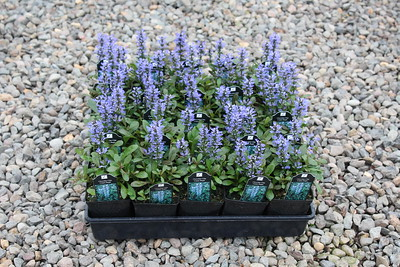 Ajuga reptans 'Chocolate Chip' 3 5 in 25 per flat (2)