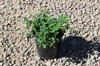 Cotoneaster dammeri #1