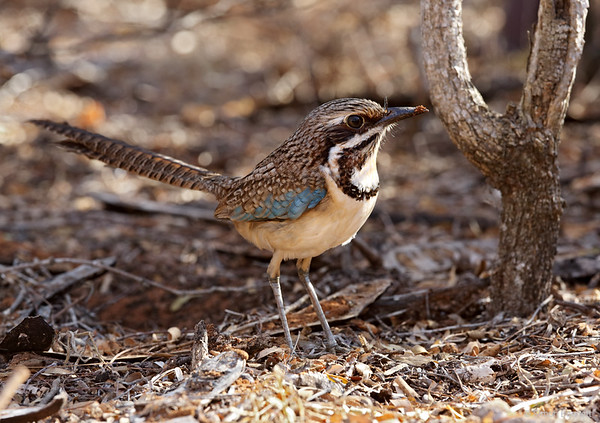 Ground-rollers and Cuckoo-roller