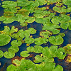 Doreen Miller-Lily Pad