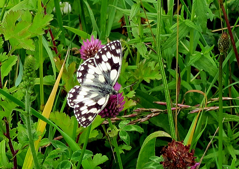 A busy Marbled White butterfly on clover flowers