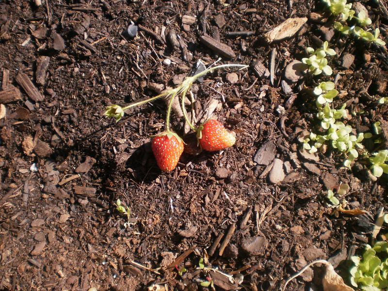 First Mini Crop