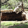 a large tree uprooted probably from the hurricane winds we had a couple of weeks back.