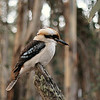 The Kookaburra that has come and observed us in the early evening for two years running. At least, I think it's the same Kookaburra: it certainly behaved the same.