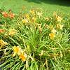 Stockbridge: Berkshire Botanical Garden: Bloom concentration along Daylily Borders