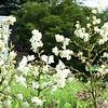 Stockbridge: Berkshire Botanical Garden: Carol Clark Tatkon Entry Garden: Adam's Needle Yucca