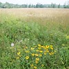 Sheffield: Bartholomew's Cobble: Tractor Path: Coneflowers at edge of field