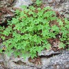 Sheffield: Bartholomew's Cobble: Cedar Hill Trail: Small ferns on boulder