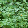 Sheffield: Bartholomew's Cobble: Weatogue Road: Jewel Weed