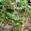 Sheffield: Bartholomew's Cobble: Cedar Hill Trail: Ferns on mossy boulder