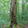 Sheffield: Bartholomew's Cobble: Cedar Hill Trail: Woodpecker holes in dead snag