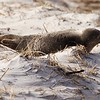 Crane Estate: Steep Hill Beach near Cedar Point: Beached seal, extending flippers