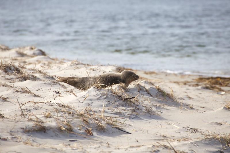 Crane Estate: Steep Hill Beach near Cedar Point: Beached seal, extending flippers