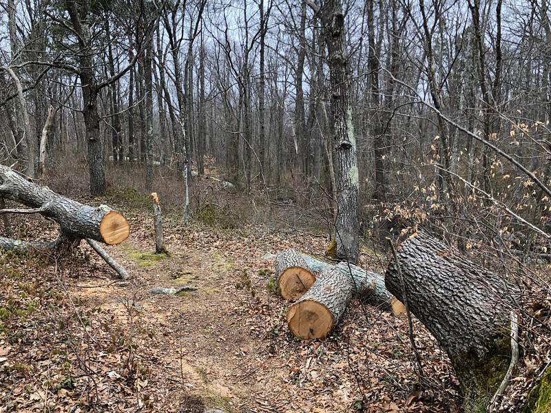 Rockport: Mass Audubon land: Recently cut tree