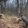Rockport: Mass Audubon land: Recently cut tree