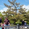 Newburyport: From Schooner Adventure: Boy climbing tree along boardwalk