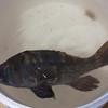 Schooner Ardelle: Fish in bucket from trap