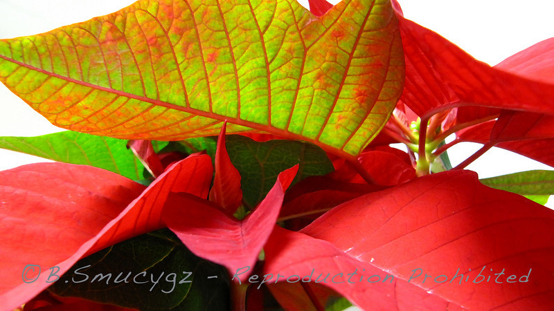 Tis the season for poinsettias...
