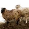 Sheep, Kuerner House Farm