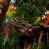 Parrots, Cancun, December 2011
