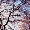Cherry Blossom, Fairmont Park, Philadelphia, 2014