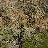 Plum Tree I    李白之一