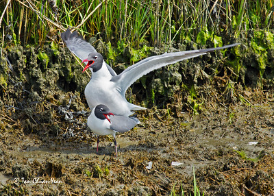 Mating pair of Laughing Gull