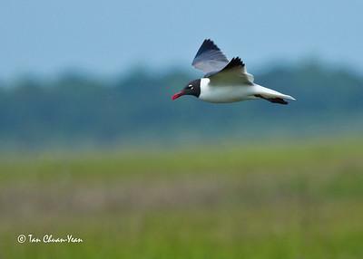 Flying Tern