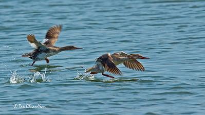 Taking off (Juvenile Mergansers)