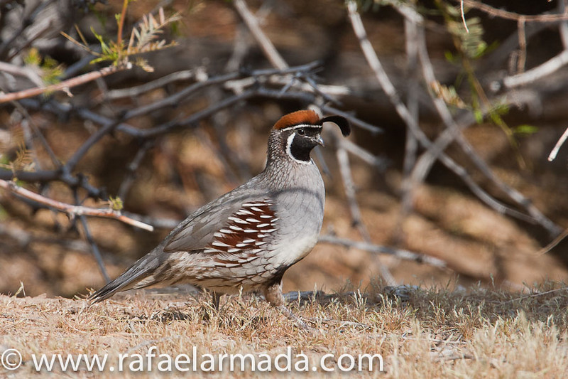Gambel's Quail (Callipepla gambellii), adult male.<br /> Twentynine Palms (California, USA), April 2009.