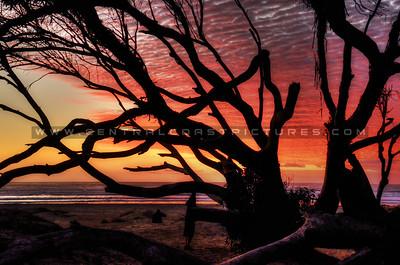 pismo-tree_7210