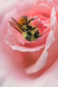 Bombus sp. on Rosa 'Pearly Gates'