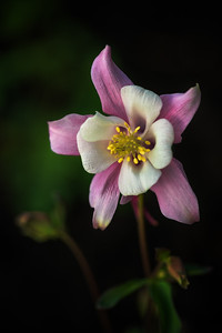 Aquilegia caerulea 'Origami Pink & White'