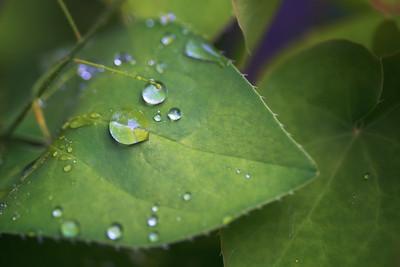 Epimedium pinnatum spp. colchicum