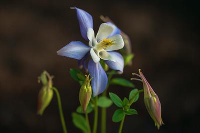 Aquilegia x hybrida 'Origami Blue & White'