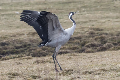 Common Crane ~ Pulken