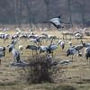 Common Crane - Trane