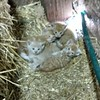 dairy barn kittens