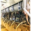milking 150 cows