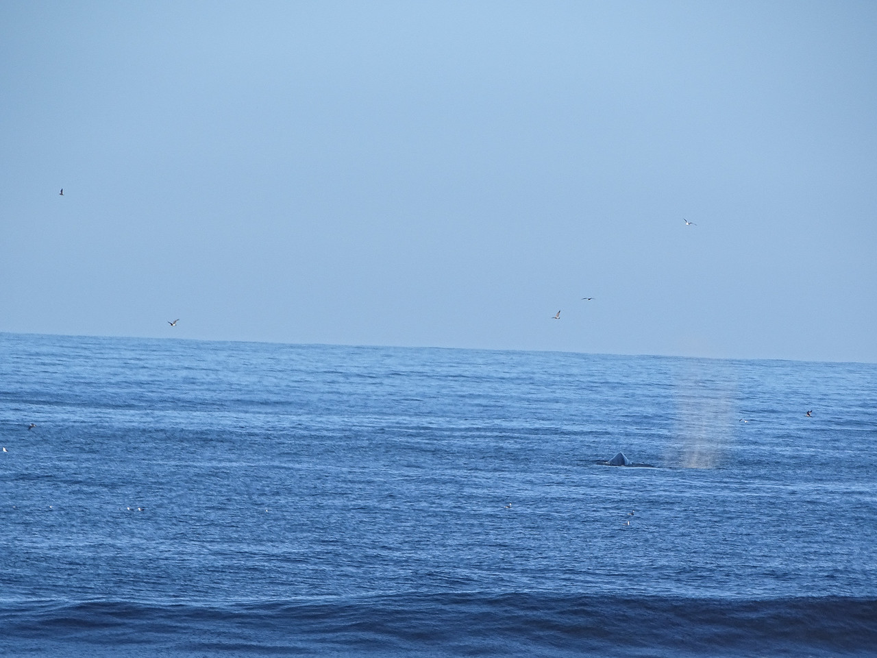 Whales just outside the surf near the parking area.