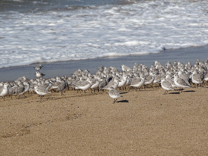 Snowy Plovers (sp?)