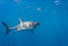 Young male great white shark - right side
