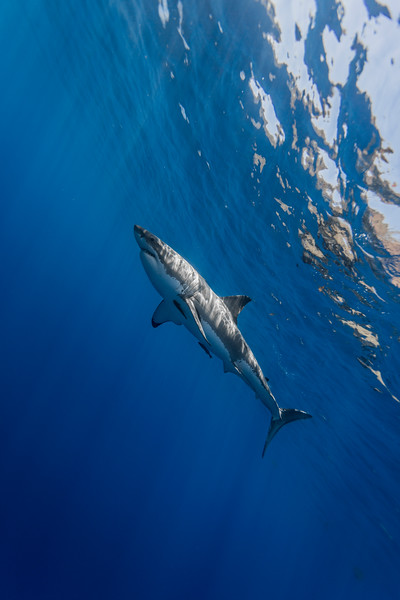 Great white shark with remoras
