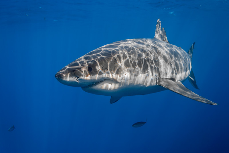 Great white shark with sun rays