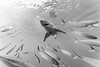 Great white shark framed by mackerel scad - black and white