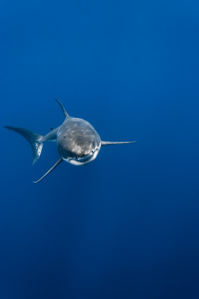 Great white shark rising